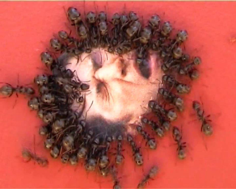 Ameisen / Maus